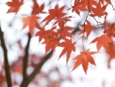 maple-leaves-w1024-h1024